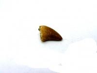 Зуб мозазавра 2 см