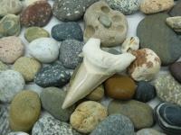 Зуб белой акулы древний