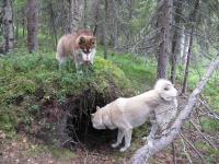 Зимняя охота в тайге, в Сибире на берлогу медведя VIP-охота!