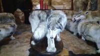 Журнальный столик, с настоящими волками